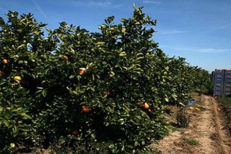 Вакансия работника на сбор мандарин апельсин