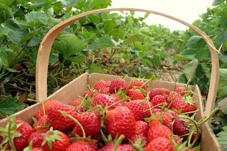 работа для фасовщика ягод