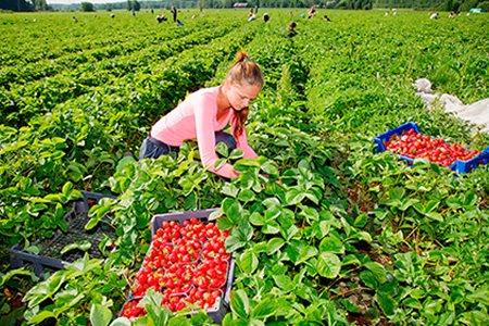 Работа разнорабочего женщин на сбор ягод