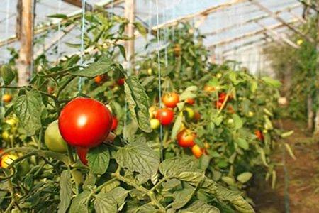 Работа сборщика помидор