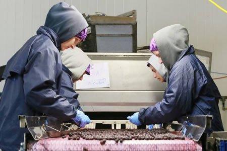 Работа для студентов на склад ягод в Португалии