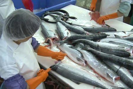 Работа для обработчика рыбы на производстве в г. Нарва (Эстония)