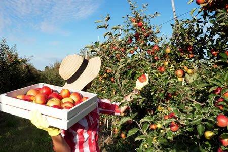 Нужны работники на сбор яблок