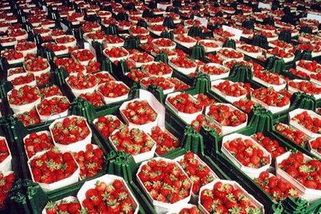 продажа клубники в Германии