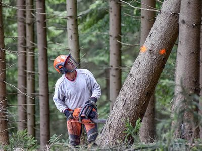 Работа лесоруба для валки леса