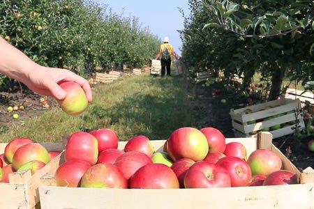 Работа по сбору и сортировки яблок