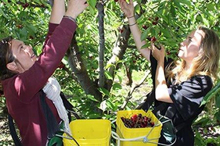 Работа для студентов в саду по сбору уфруктов