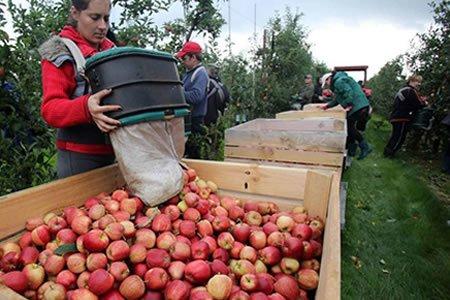 Работа по сбору яблок в саду