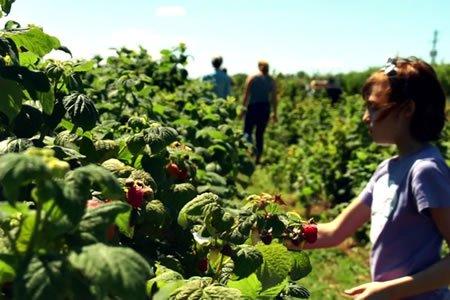 Работа для студентов на полях по сбору малины