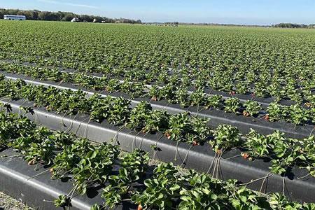 Работа на ферме по выращиванию и сбору ягод