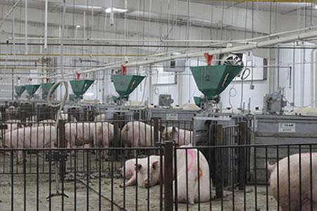 Работа на автоматизированной свиноферме
